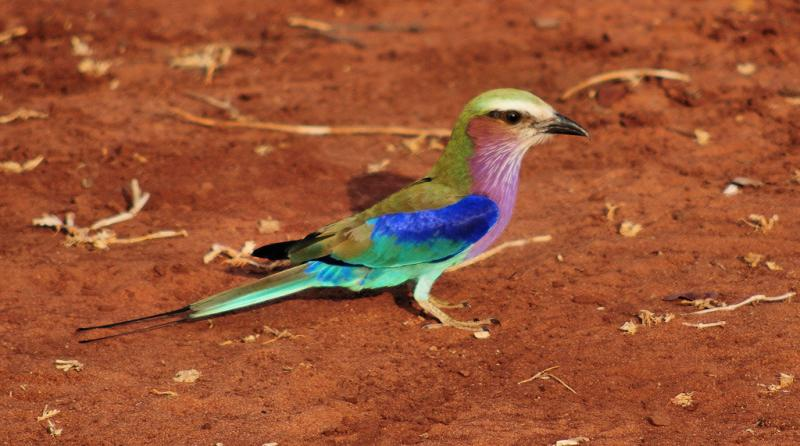 Lilac-breasted roller, Zimbabwe