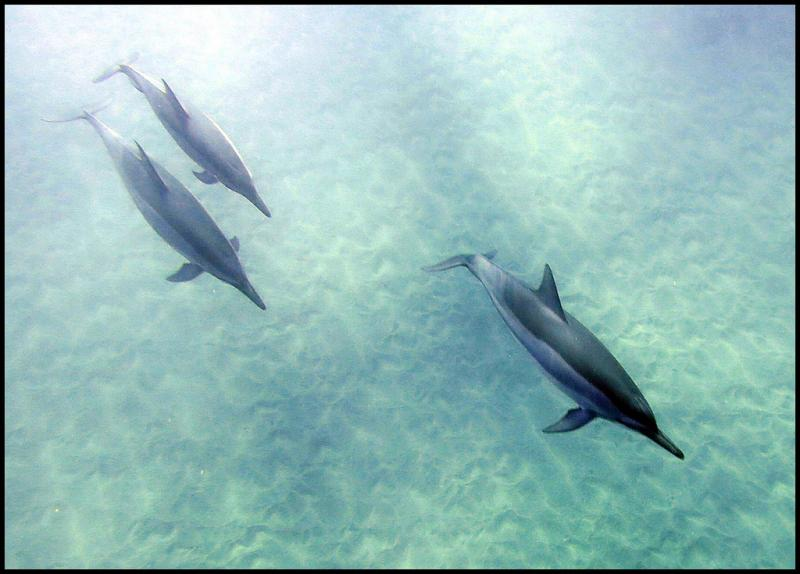 Spinner dolphins, Manele Bay, Hawaii