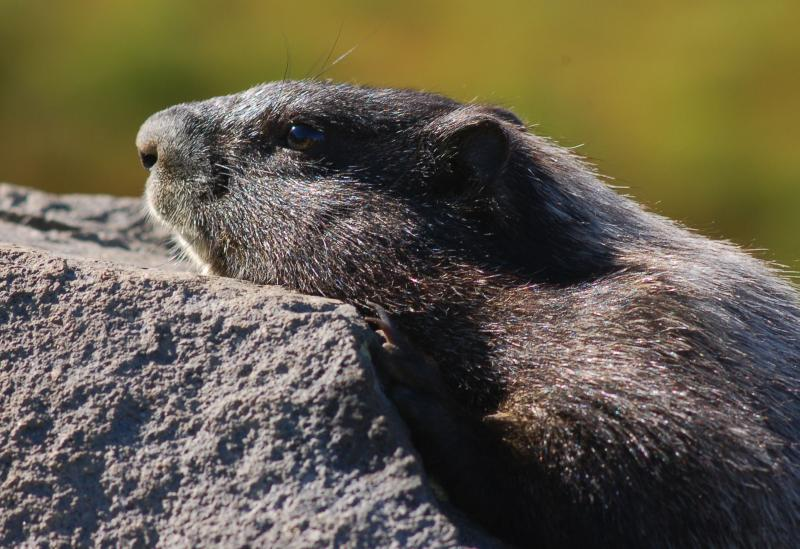 Margot, the marmot model of Summerland