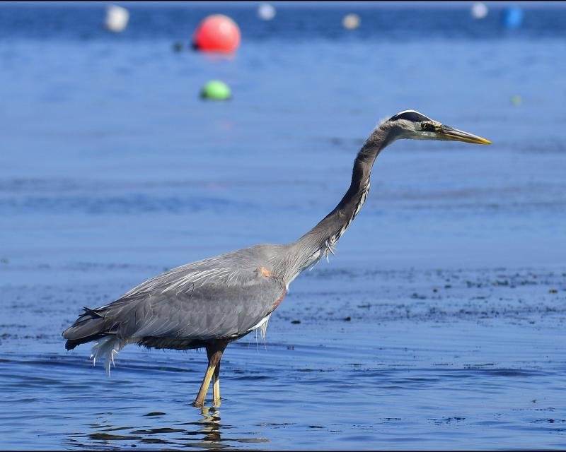 Great blue heron stalks the shallows at low tide at Edmonds, Washington